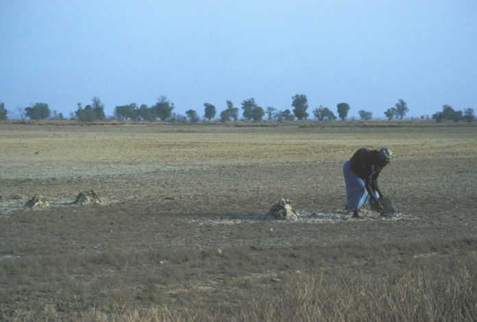 Alerte des populations de Simbandi Balante : « le sel gagne de plus en plus nos terres … »