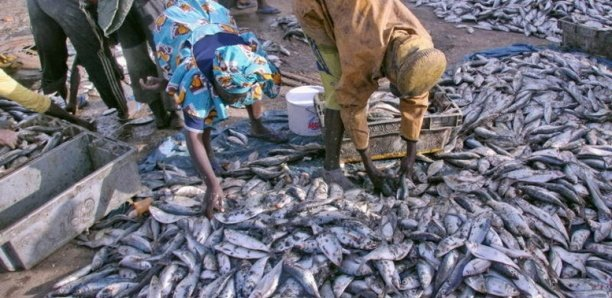 Sénégal : « 57 licences de pêche octroyées à des navires étrangers qui opèrent en toute impunité » (Gaipes)