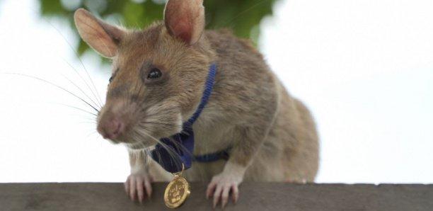 Un rat héroïque détecteur de mine reçoit une médaille d'or