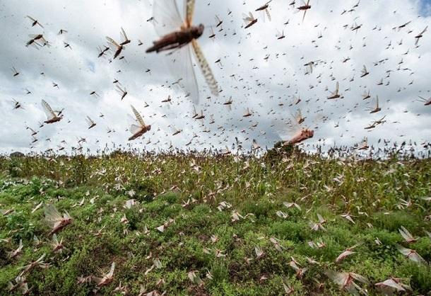 Urgence signalée pour la riziculture de la Vallée du Fleuve: des rats et des criquets dévastent les champs
