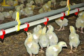 Filière avicole : un chiffre d'affaires de plus de 160 milliards de FCFA en 2016