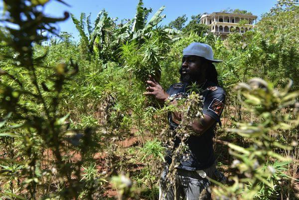 Enquête sur la drogue au Sénégal: Kouba, village de casamance ou ont vit de la culture du cannabis impunément