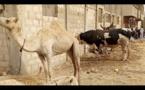 Gamou 2017 : Aziz Ndiaye frappe fort avec ses bœufs, regardez