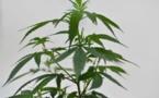 Le Rwanda se lance dans le commerce de cannabis à usage thérapeutique