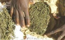 Un pêcheur dealer arrêté avec 1,1 kg de chanvre indien à Thiaroye